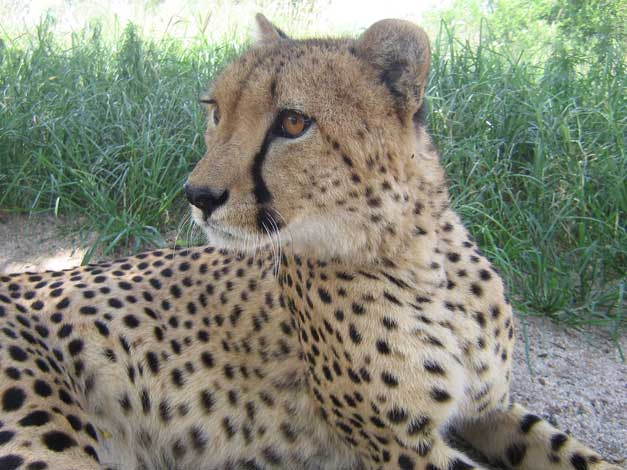 HESC - Duma - Cheetah