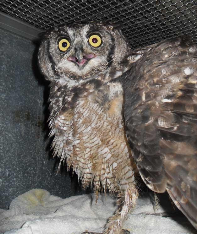 HESC - Spotted Eagle Owl