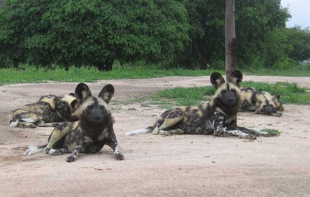 HESC - Wild dogs