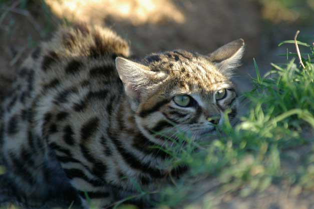 HESC-Black-footed-cat