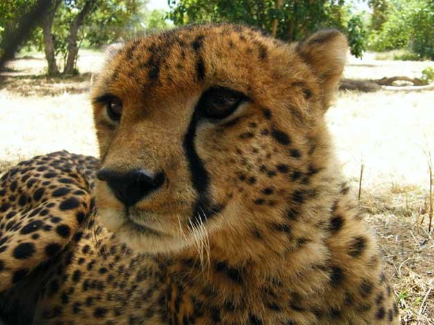HESC-Cheetah