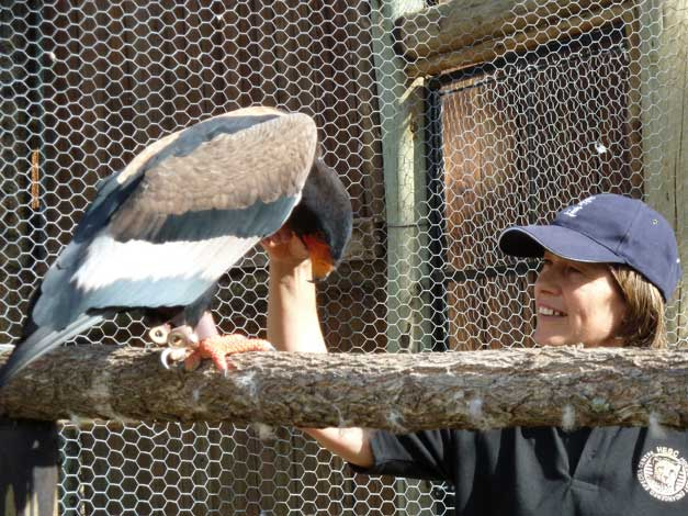 HESC Student Programme - Hetty with bateleur eagle