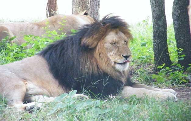 HESC-Male-lion