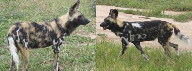 HESC-Wild-dogs