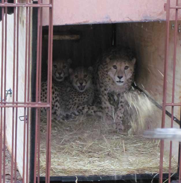 HESC - Sanparks cheetahs