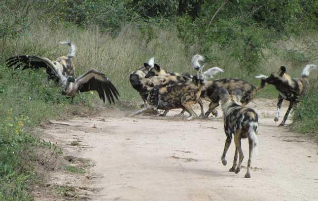 HESC-Wild-dogs-vulture
