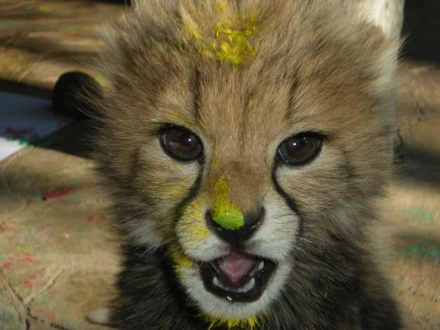 HESC-Cheetah-cub-painting