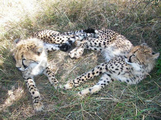 HESC-Juvenile-cheetahs