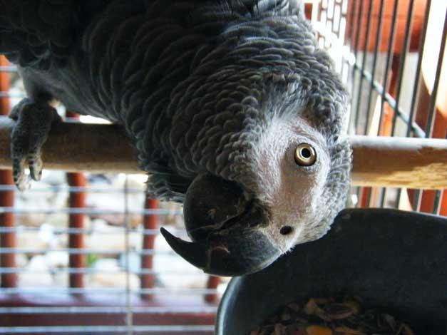 HESC-Koos the parrot
