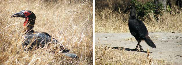 HESC - Wild Southern Ground Hornbills