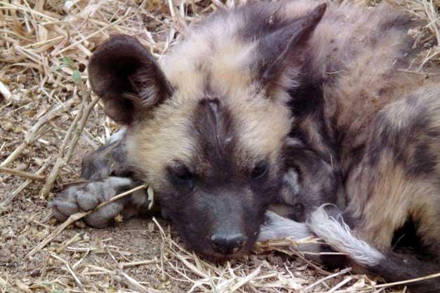HESC - Wild dog pup