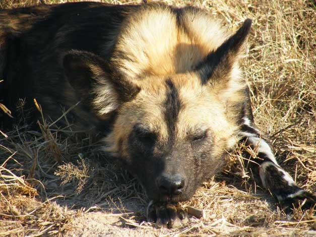 HESC- Wild dog - Dugie