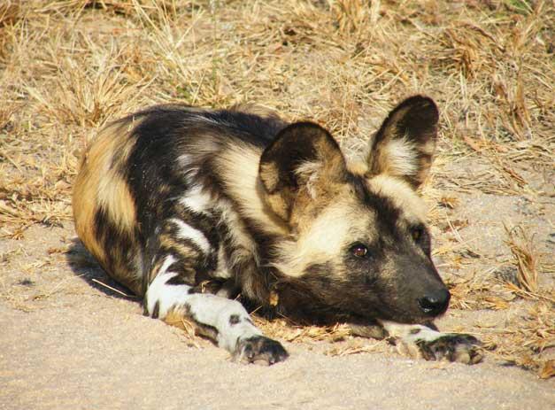HESC - Wild dog - Bolt