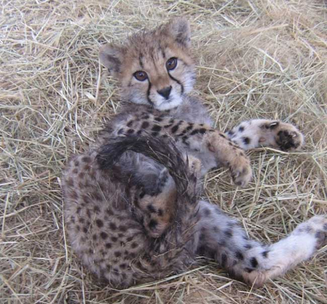 HESC - Cheetah cub