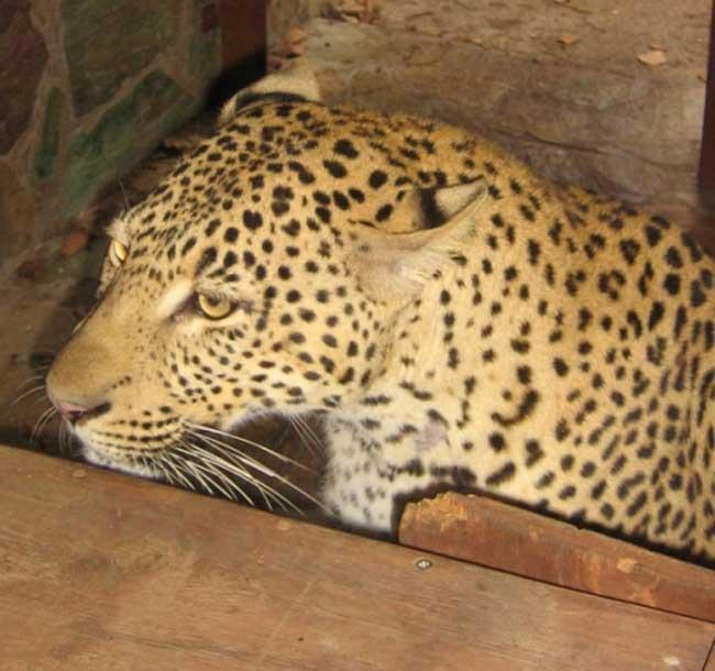 HESC - Leopard