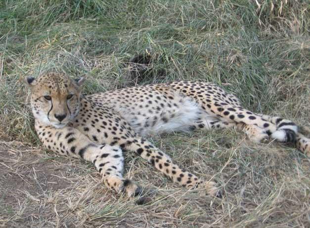 HESC-Martin-cheetah