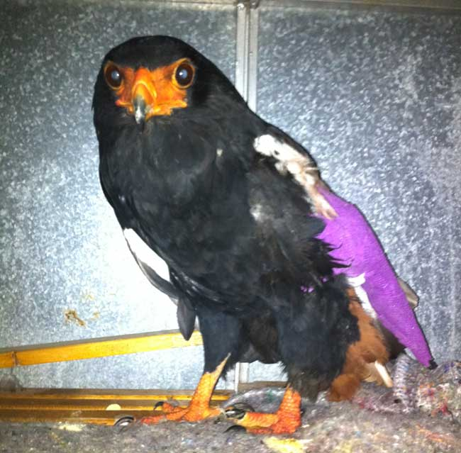 HESC-Bateleur-eagle