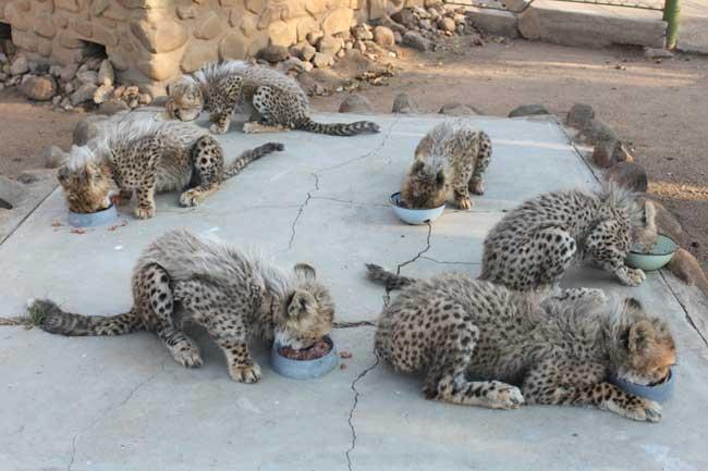 HESC-Cheetah-cubs