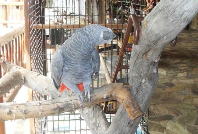 HESC - Koos the parrot