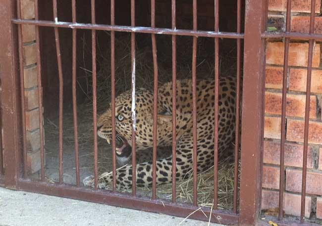 HESC-Leopard