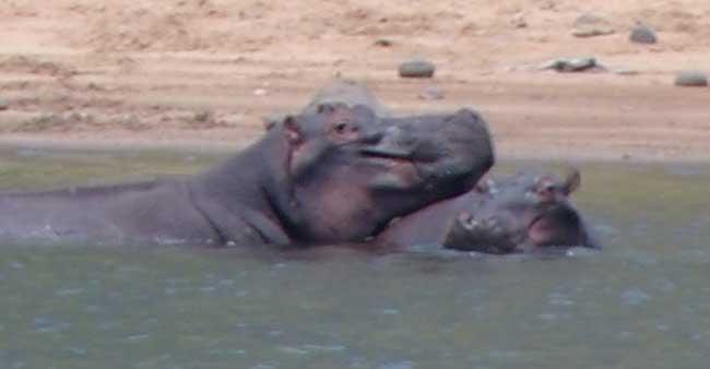 Hippos at Blyde River Canyon