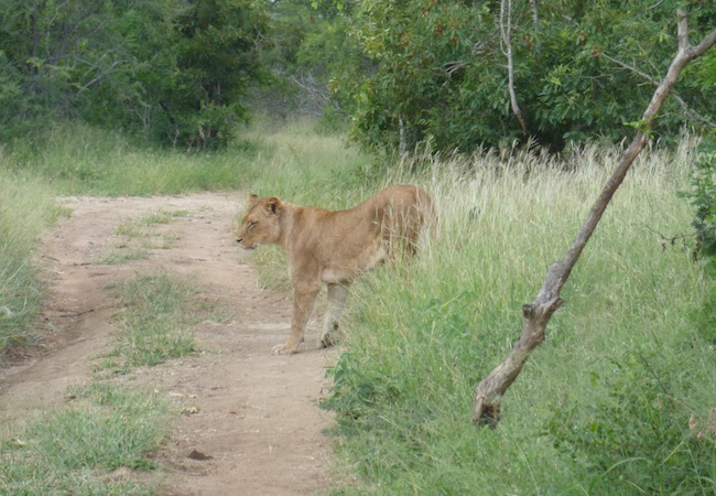 Lion in the Kapama Nature Reserve