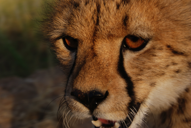 An Adolescent Cheetah at the HESC