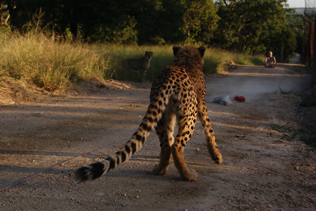 The Young Cheetahs are Curious by this strange looking Machine