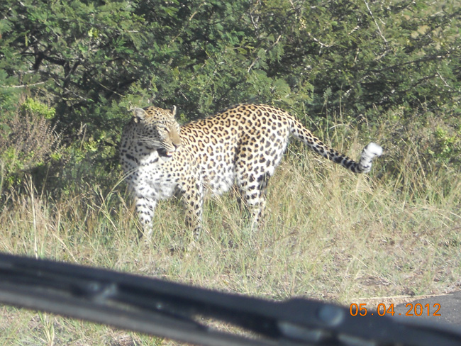 Leopard in KNP awesome!