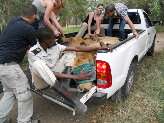 Students helping the vet to move the lions