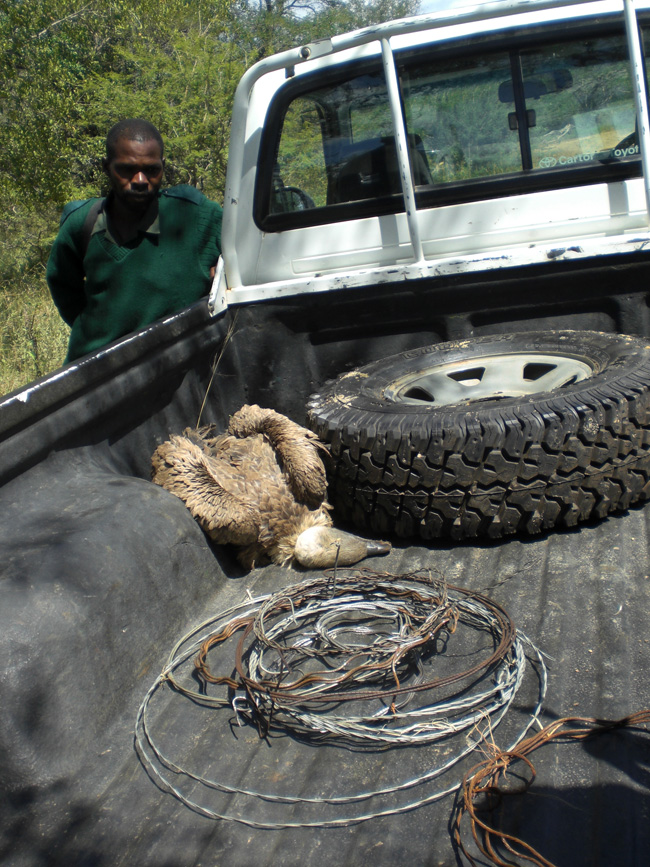 Anti-poaching - dead bird and snares