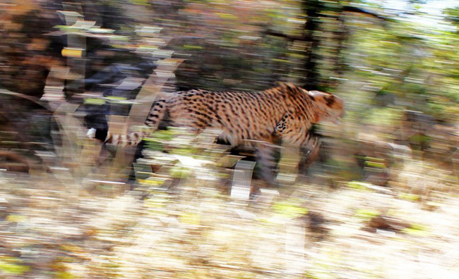 HESC_Cheetah_Release_ (8) FB