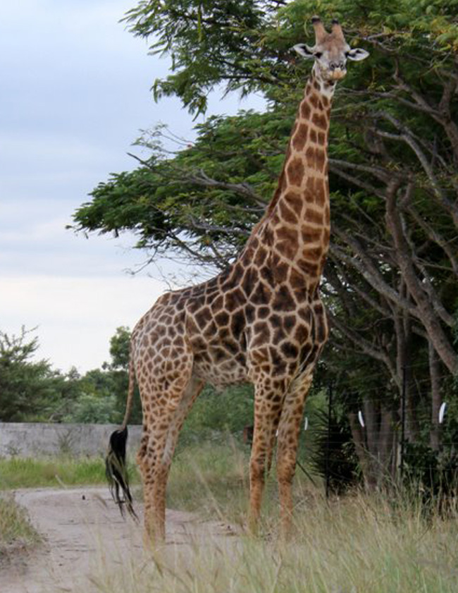 Giraffe seen on a game drive
