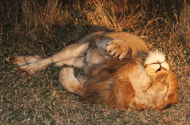 A contented lion enjoying the sunshine