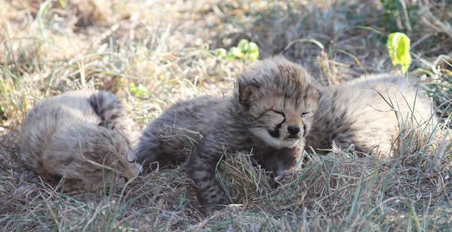 Salome's cubs
