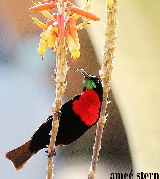HESC_Scarlet-Chested_Sunbird_2012 blog