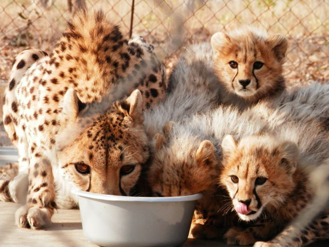 Cheetah cubs feasting with mom