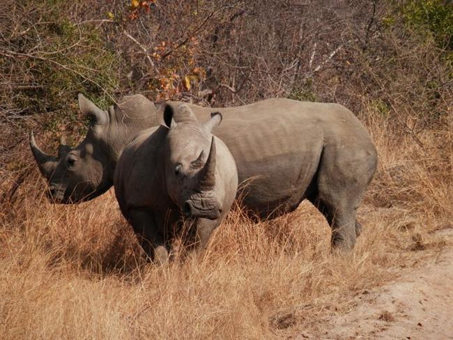 Rhino on Kapama