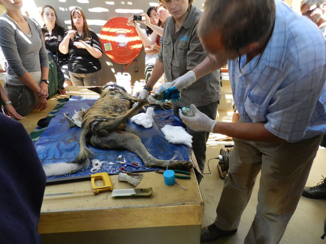 Students at Provet with Dr. Peter Rogers with a wildog that was caught in a snare