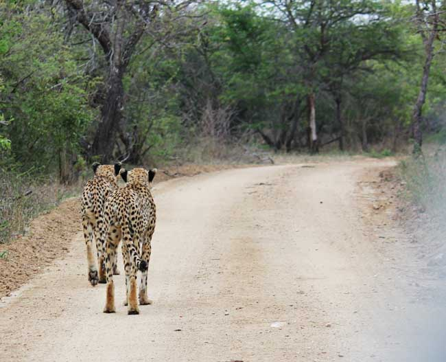 (Photo of Cheetahs)