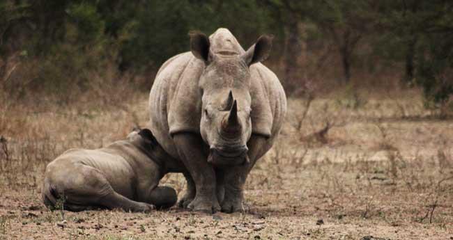(Photo of Rhino and Calf)