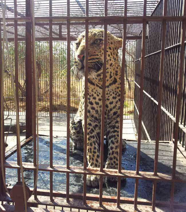 The leopard prior to release