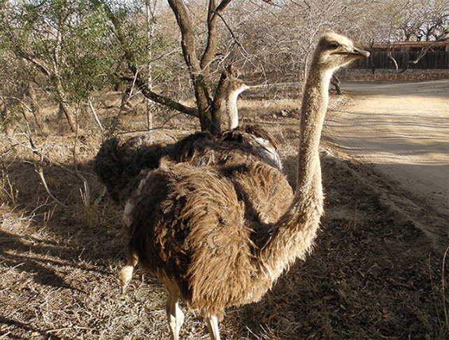 Hesc ostriches