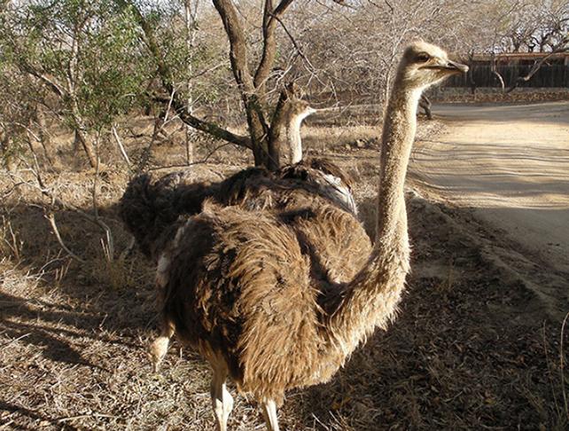 Hesc ostriches