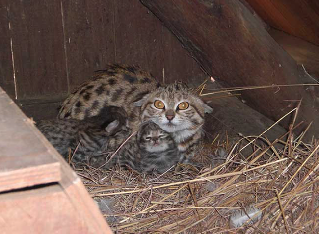 Black-footed cat family