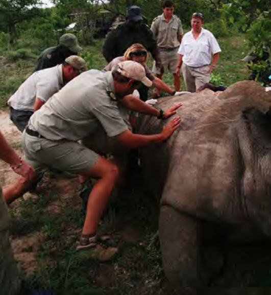 The whole team is needed to roll the rhino onto her other side to allow blood supply to the leg she waslying onHESC