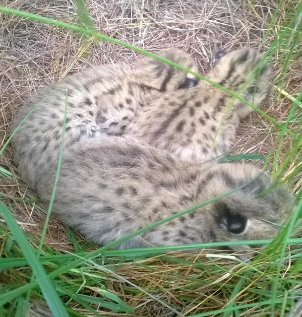 the week-old serval kittens in their nest