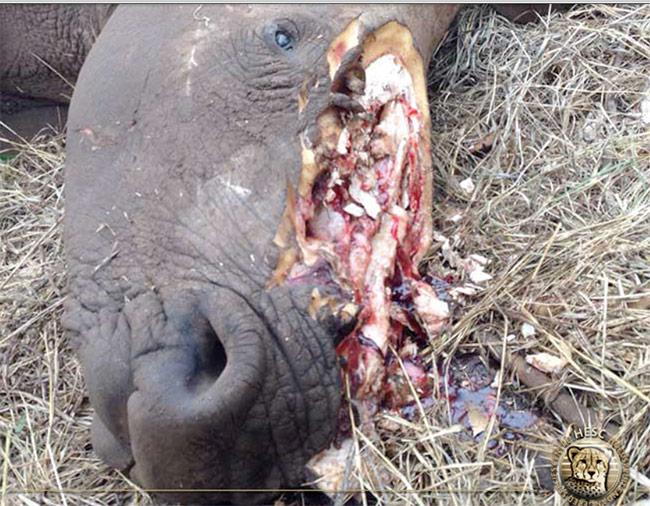 Dead-poached-rhino