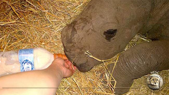 Orphaned-baby-rhino