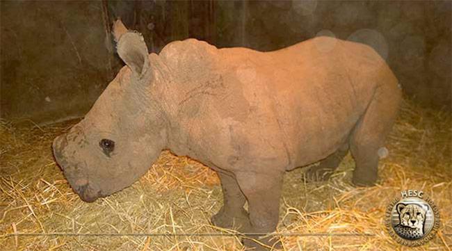 Orphaned-rhino